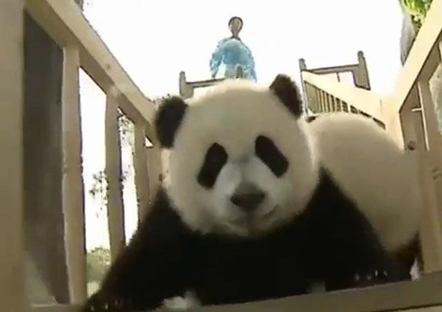 oso_panda_1