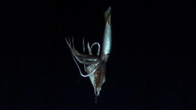 Calamar gigante en Japón