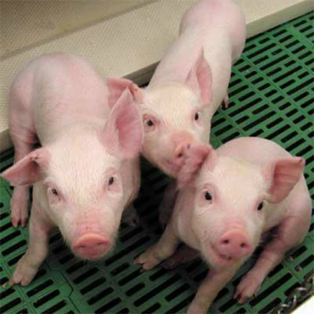 cerdosdetectabengalas