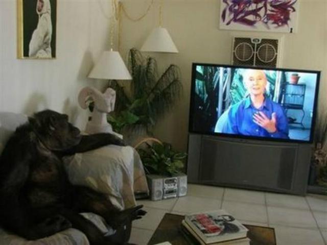 chimpance-ve-la-tele