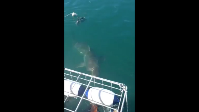 Tiburón-blanco