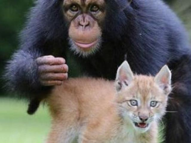 chimpance2