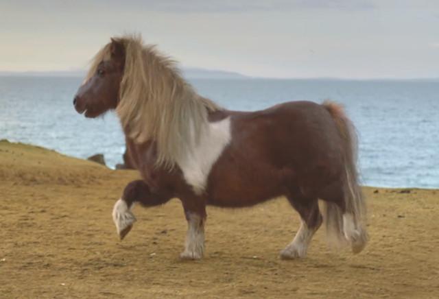 pony_bailador_