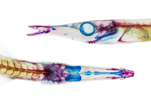 Aulorhynchus flavidus