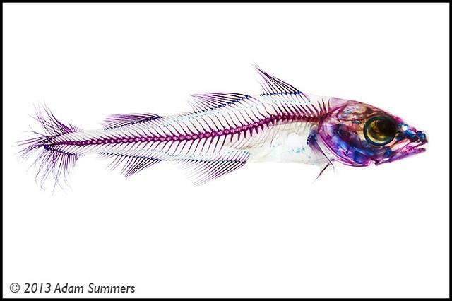 pecestransparentes06