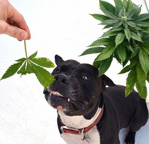 perro marihuana