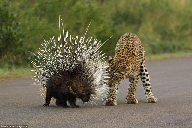 leopardo puerco espin (3)