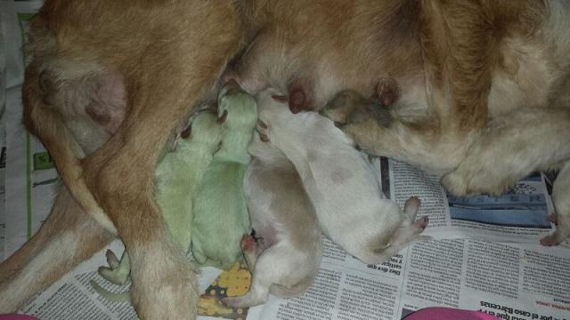 perros verdes02