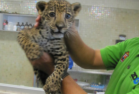 cachorro jaguar2
