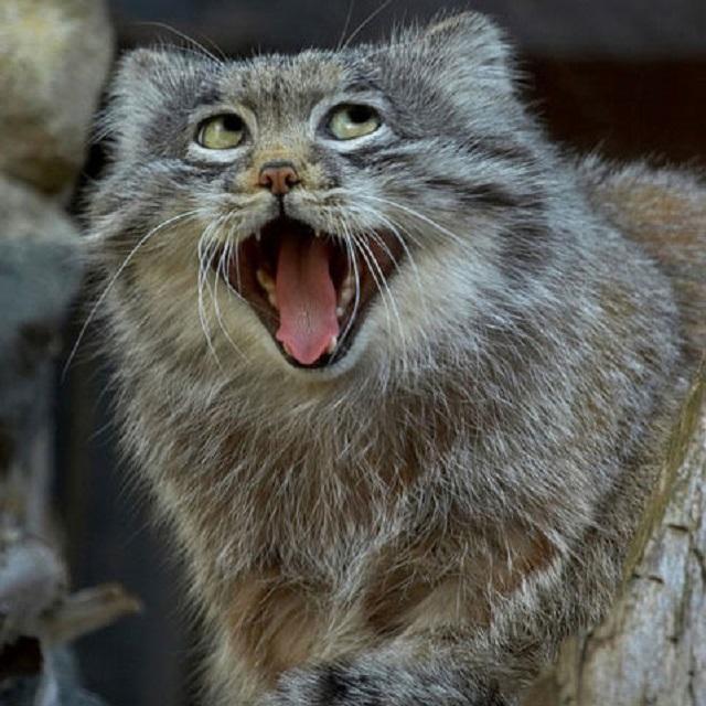 gato de pallas02