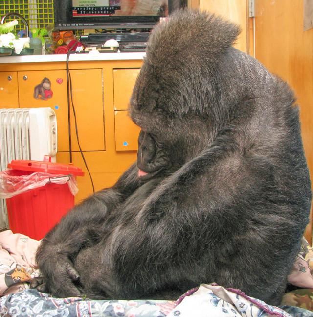 gorilakoko
