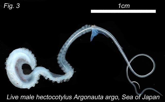 hectocotylus