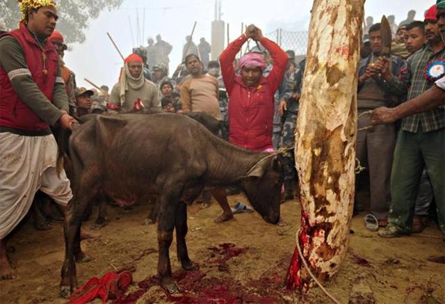 matanza-animales-nepal