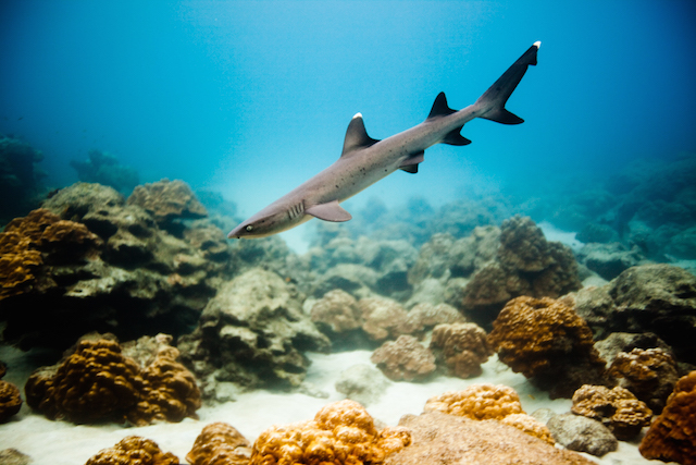 BH tiburones 1