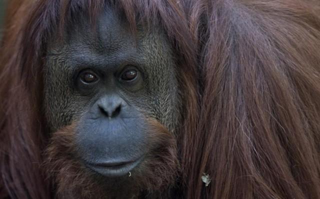 argentina-orangutan-freedom
