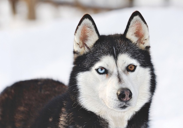 A7BMRT Blue and brown eyed siberian husky standing in snow