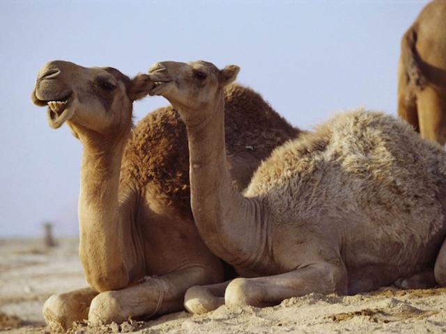 camello_aus