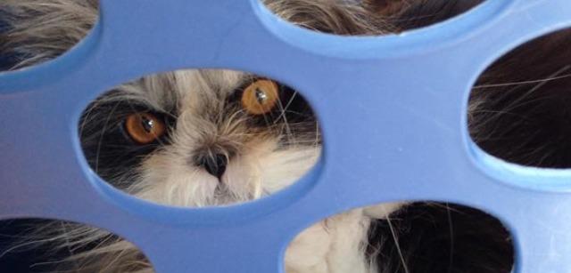 hairy.cat.death.stare.atchoum.4