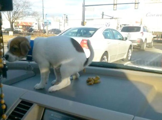 naughty.dog.pooping.on.dashboard__605
