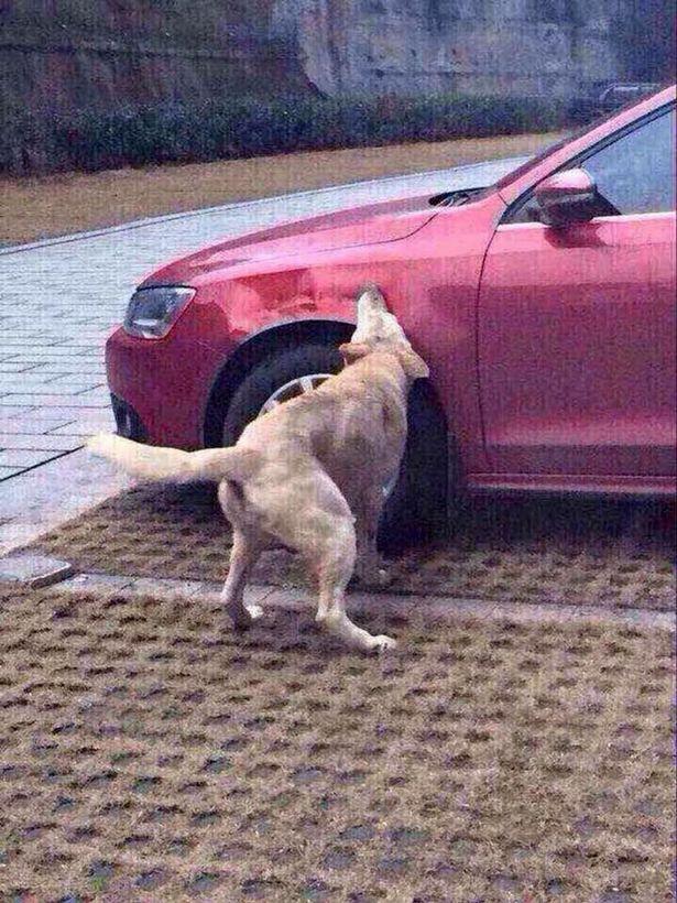 Stray-dog-attacks-car (2)