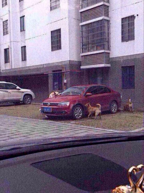 Stray-dog-attacks-car