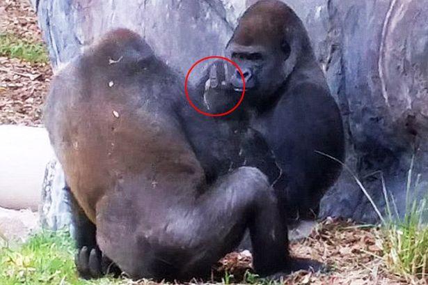 TEASER-Gorilla-gives-finger
