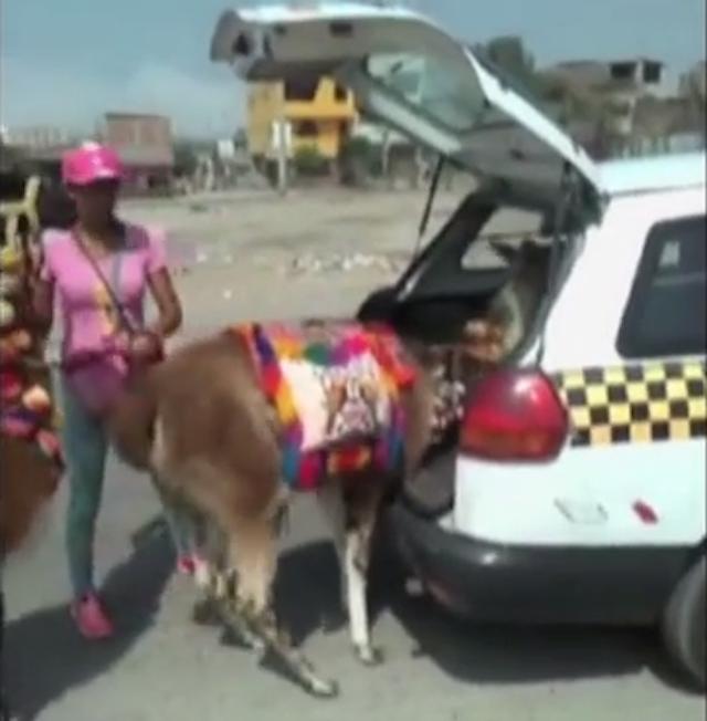 llama_taxi_2