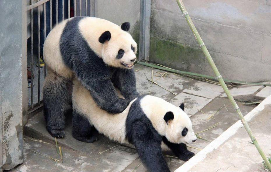 pandas sex