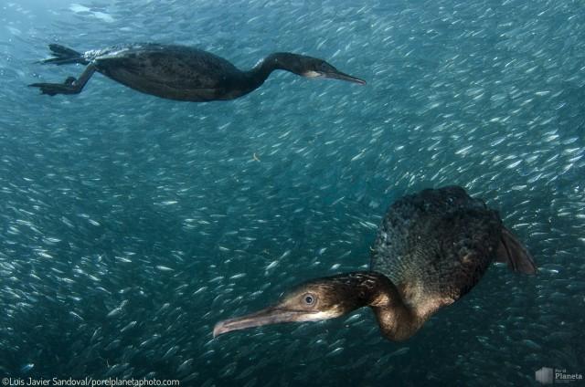 two cormorant hunting sardines