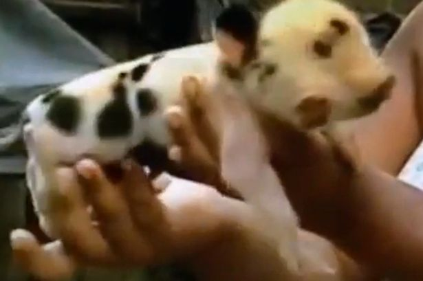 PAY-Two-headed-pig