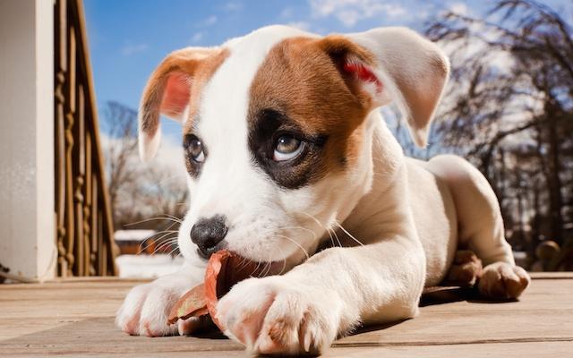 Adorable Puppy Wide Desktop Background