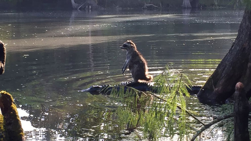 raccoon-riding-alligator-richard-jones-1