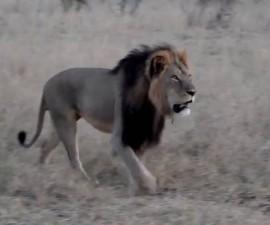 cecil zimbabwe1