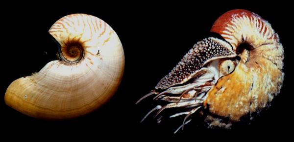 MM-Crusty-Nautilus