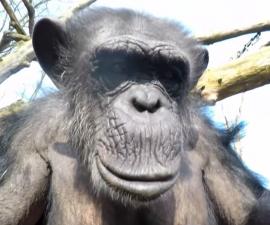 chimpance go pro