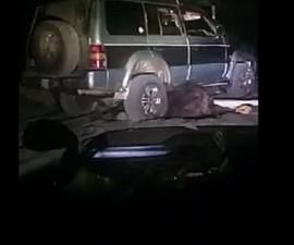 oso ruso violacion