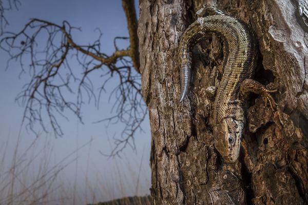"""""""Common Lizard"""" de William Harvey. Categoría: retratos animales."""