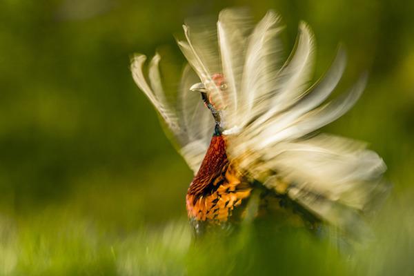 """""""Pheasant Display"""" de Kris Worsley. Categoría: comportamiento animal."""