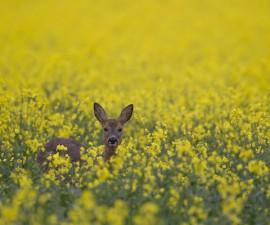 Roe deer Capreolus capreolus female in a flowering oilseed rape