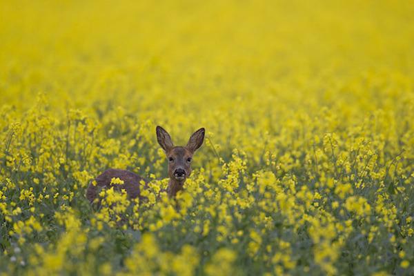"""""""Roe Deer in four Seasons (Spring)"""" de Kevin Sawford. Cateogría: estaciones británicas."""