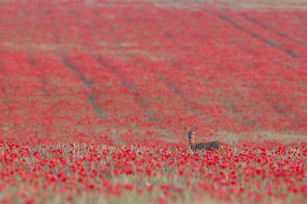 """""""Roe Deer in four Seasons (Summer)"""" de Kevin Sawford. Categoría: estaciones británicas."""