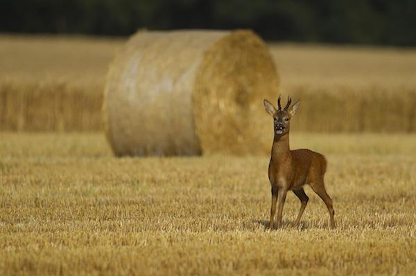 """""""Roe Deer in four Seasons (Autumn)"""" de Kevin Sawford. Categoría: estaciones británicas."""