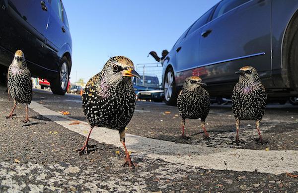 """""""London Starling Gang"""" de Tomos Brangwyn. Categoría: vida animal en el medio urbano."""