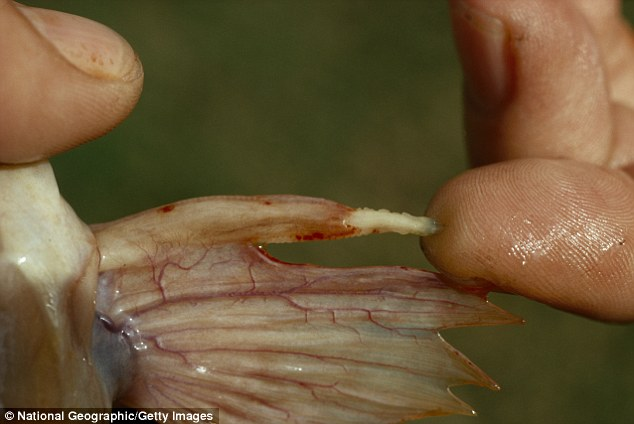 pez pierna