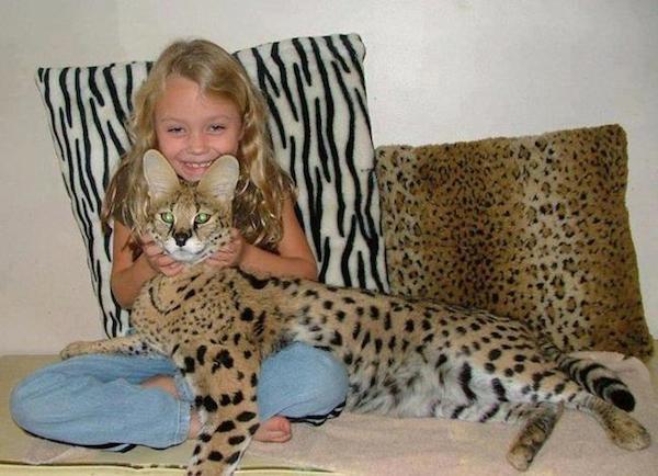 savannacats