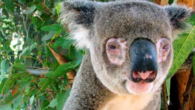 koala clamidia