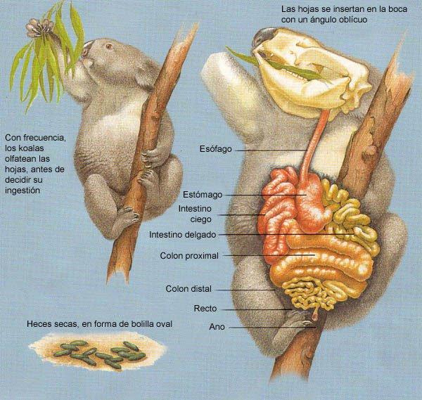 koala tracto digestivo