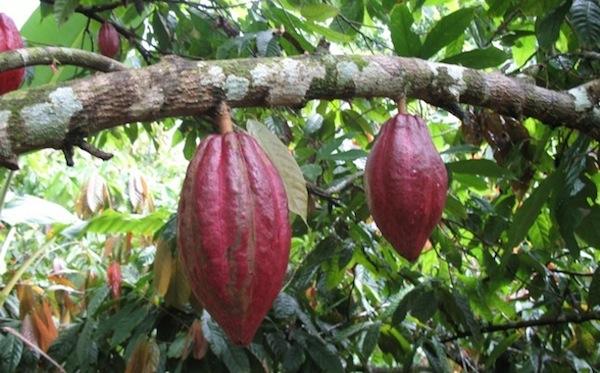 planta-cacao