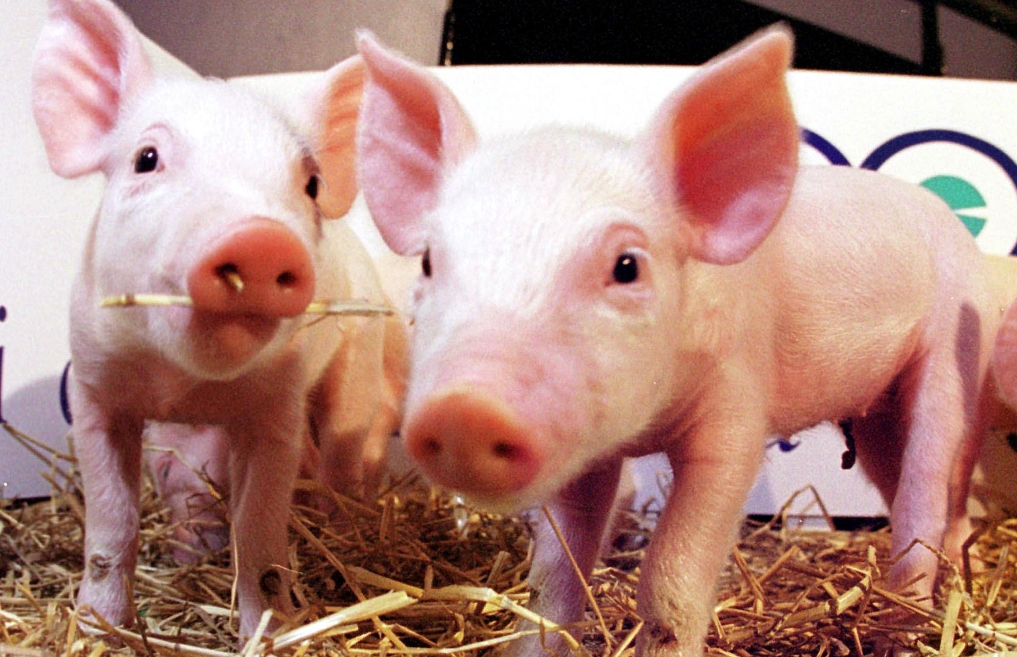 Cerdos-Animales-Clonados-Crop