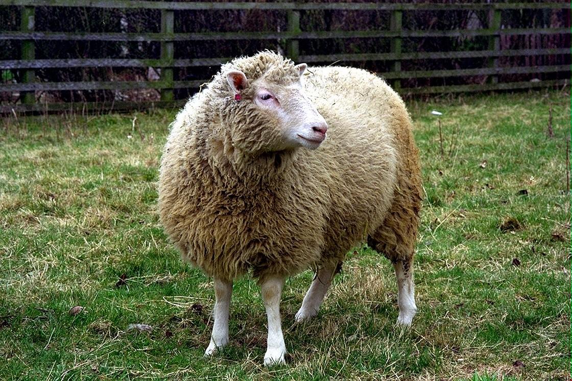 Dolly-Animales-Clonados